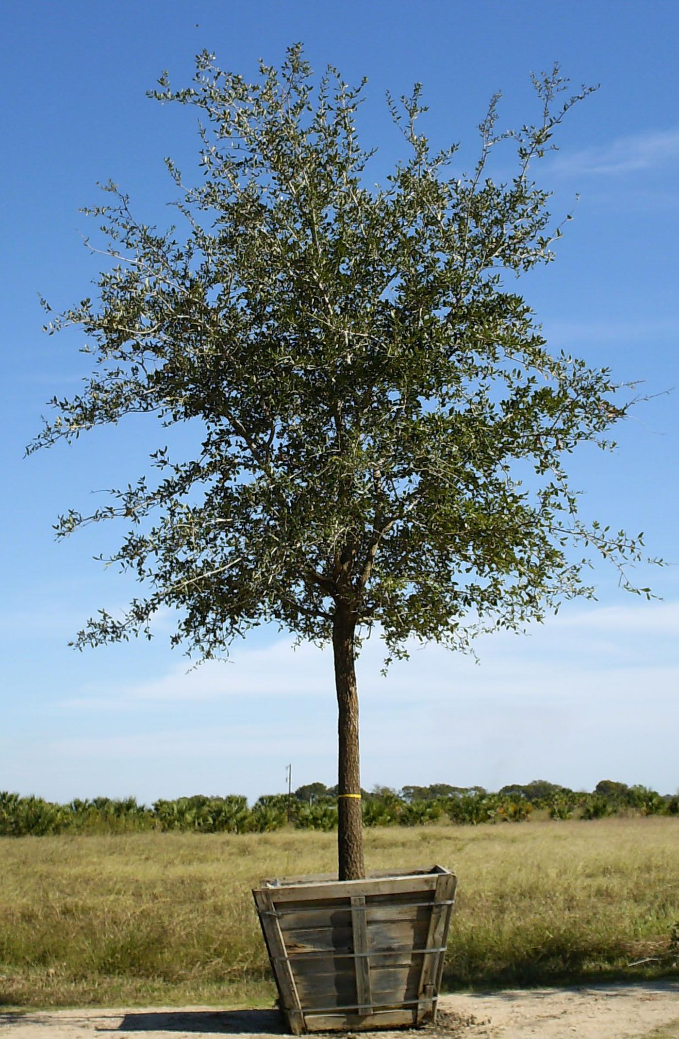 how to kill a live oak tree